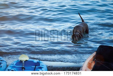 Active Labrador Dog In Blue Water