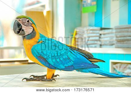 3 Months male blue and yellow macaw parrot in house. Birds walk on the the dining table as a child in a good mood. Selective focus.