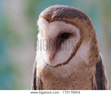 A barn owl displaying its speckled head and chest