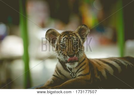 Portrait of a beautiful tiger cub tongue out