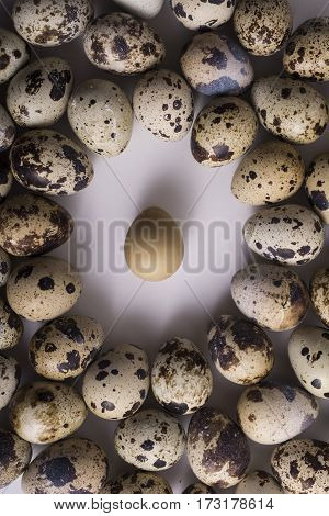 Alone Flat Quail Egg in Center and Group of Multiple Speckle Eggs Around it Leadership Concept