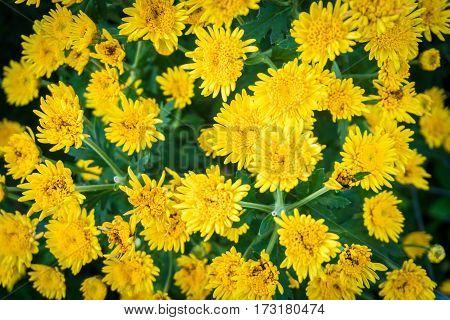 yellow chrysanthemum flowers in the garden background