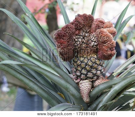Ornamental pineapple trees with many thorns on the head dragon symbolizes the beginning, this is just to the left of plant material just as well in distillation trays holidays in Vietnam