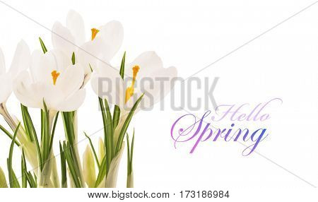 White Crocuses closeup isolated on white background. Spring Flowers
