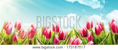 Spring tulips in sunlight. Nature background