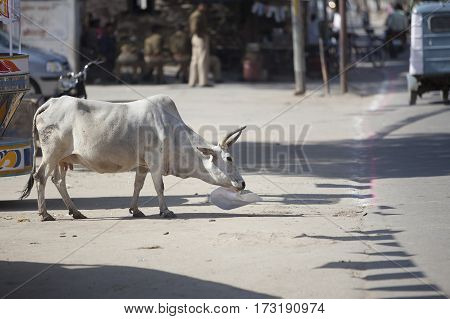 cow walks on a city street and chewing poster india