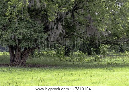 Oak tree with hanging spanish moss in a pasture in Alabama