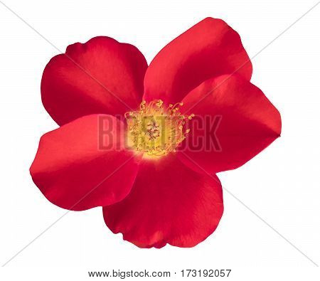 A photo of a vibrant red rose, isolated on white background