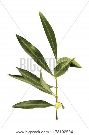 A photo of a green olive branch, isolated on white