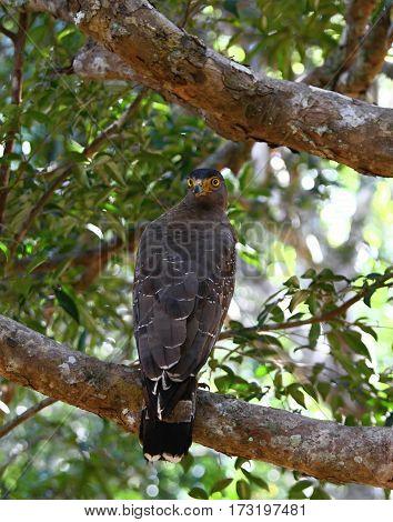 Crested serpent eagle Spilornis cheela spilogaster national park Wilpattu Sri Lanka eagle sitting with its head turgning back