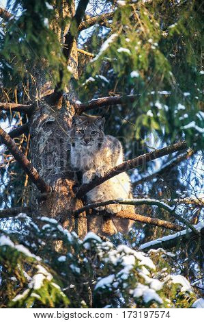 Eurasian Lynx in a Winter Forest. Daytime in a Lithuanian forest.