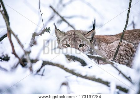 Eurasian Lynx lurking in a Winter Forest. Daytime in a Lithuanian forest.