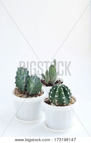 cacti in white pots on a light background.