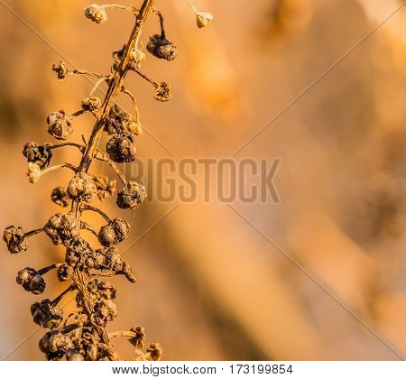 Closeup of a stem of dead berries with a soft blurred background