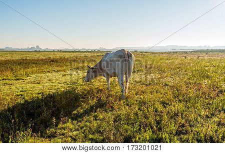 Backlit image of a young creamy colored cow quietly grazing in a flat Dutch nature area early in the morning of a sunny day in the fall season.