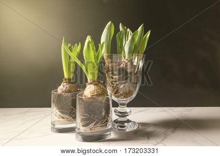 Early Hyacinth Flowers, Spring Season