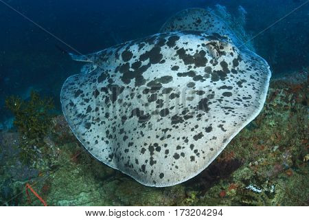 Marbled Ray Stingray