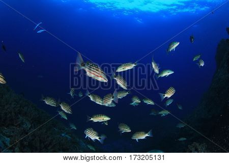Checkered Snapper fish on reef in ocean