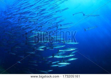 Barracuda fish in ocean