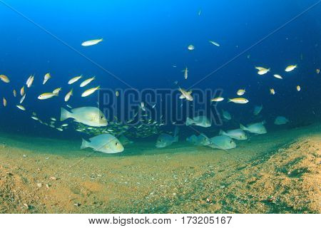 Sweetlips fish in ocean