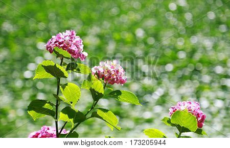 Scene of the surface of the water of the pond and the hydrangea nearby