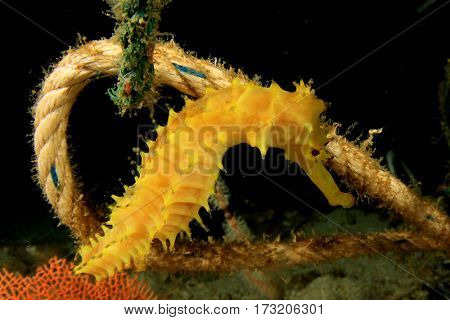 Thorny Seahorse on old discarded fishing net