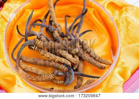 Yarsagumba Ingredient used in Traditional Chinese Medicine Yartsa Gunbu isolated on white background - Cordyceps sinensis