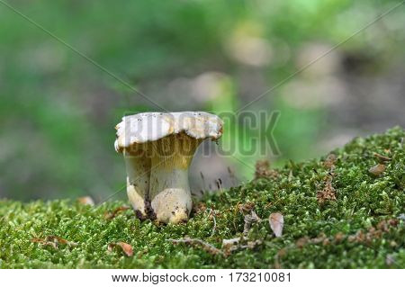 Chanterelle mushroom in the wood, CANTHARELLUS CIBARIUS