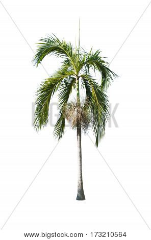 Betelor palm tree , an asian trees isolate on white backgrond