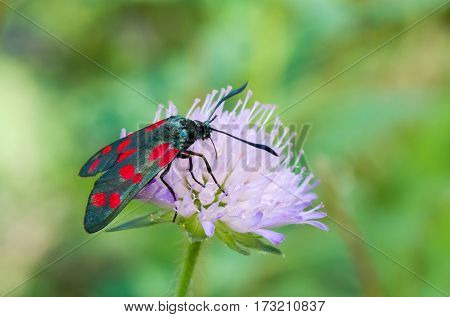 Black red spotted moth sitting on a wild summer flower and eating nectar.
