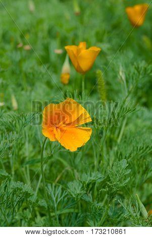 Field of Californian poppy after rain at spring season.