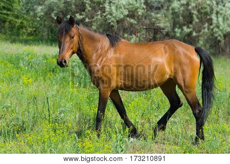 Pensive chestnut horse (mare) on a spring pasture.