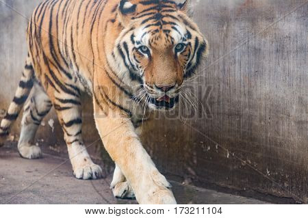 Portrait of tiger in the Zoo,Nanchang,China .