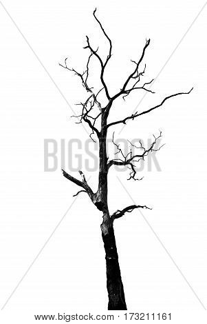 Dead tree for seasonal decoration isolated on white background