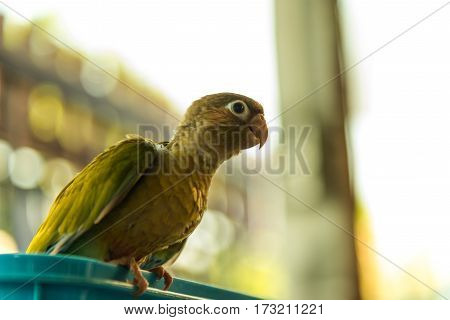 Colorful bird Cinnamon green-cheeked conure touch on the basket
