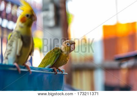 Colorful bird Cinnamon green-cheeked conure touch on the basket.