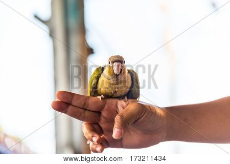 Colorful bird Cinnamon green-cheeked conure The Catcher in the hand