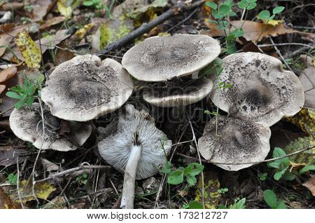 Mushrooms in the nature.Tricholoma pardalotum or tricholoma pardinum, poisonous mushroom  growing on autumn