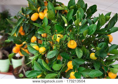 kumquat fruit on the shelves of the flower shop