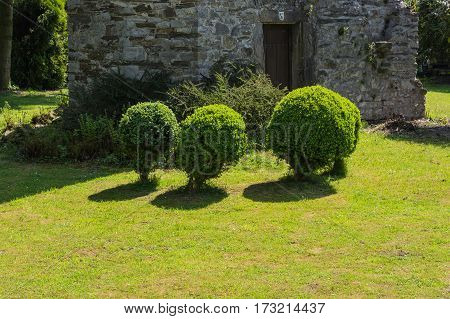 Arborvitae Thuja cut in shape on a meadow.