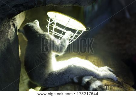 Lemur next to a lamp in zoo