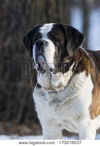 A Saint Bernard dog in the winter