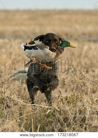 A hunting dog with a Drake Mallard
