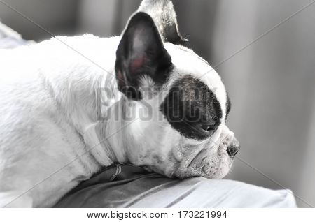 French bulldog in the bed , a French bulldog