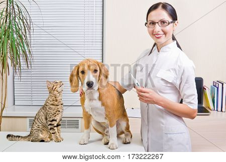 Veterinarian, Beagle dog and curious cat Scottish Straight