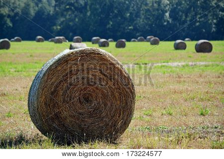 Round bale of hay to the left in the foreground with other bales in the background