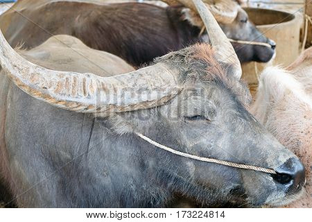 close up image of buffalos in corral,Thailand