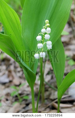 Lily of the valley (convallaria majalis) in the forest