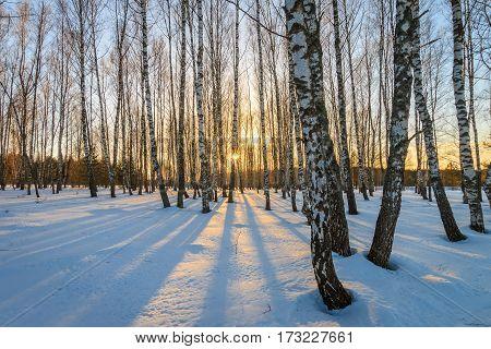 Beautiful Sunset At Birch Forest At Winter Season.