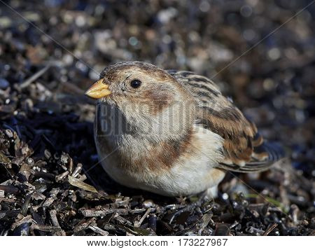 Closeup portrait of the the snow bunting in its habitat
